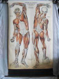 Antique Pull Down Muscle Anatomy Chart 1918 Vintage Medical Collectibles Nystrom Chicago Male Portrait Human Figure Life Size 76 Inch