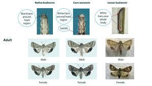 Corn Earworm Control Insect Cesar Australia