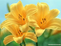 Image result for lily flower