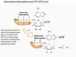 Adp Conversion Chart 0614 Adenosine Triphosphate And Atp Adp Cycle Medical Images