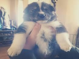 samo cross husky pups chester cheshire pets4homes samo cross husky puppies for