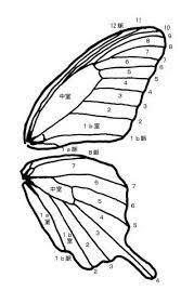 トンボ 羽 構造の画像検索結果 フェザー2019 蝶トンボ虫