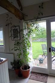 indoor tomato garden. Indoor Cherry Tomato Garden D