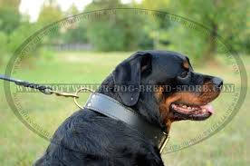 handmade leather dog collar is ideal for training walking