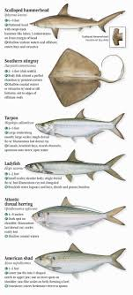 Nc Saltwater Fish Identification Chart Saltwater Fishes Of North Carolina South Carolina And