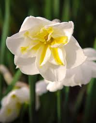 net the daffodil spring featured the garden  narcissus lemon beauty