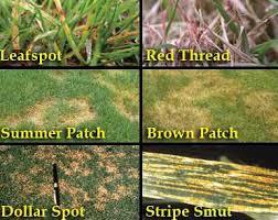 Brown Patch Disease Lawn Disease Control Solutions