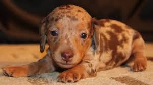 chocolate tan dapple miniature dachshund puppies available in al ak ar az