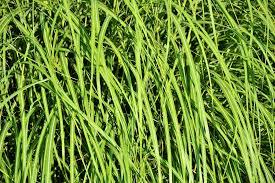 Free photo Grass Green Blades Of Grass Meadow Grass Grasses Max Pixel
