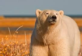grolar bear size grolar bears and pizzlies sporting classics daily