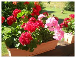 """Résultat de recherche d'images pour """"photos de geranium lierre(fleurs)"""""""
