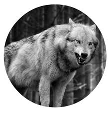 wolf iphone 5 wallpaper. Simple Wolf Wolfwallpaperiphone5animalswolfiphone6plus1080x1920wallpaperpng With Wolf Iphone 5 Wallpaper