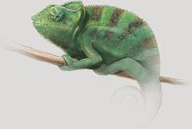 Small Picture Chameleon Colors Reflect Their Emotions