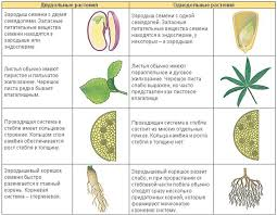Двудольные и однодольные растения реферат всё для учеников Двудольные и однодольные растения реферат