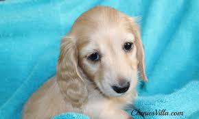 miniature dachshund long haired