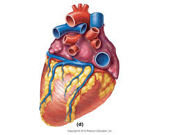 Cardiac Anatomy Chart Free Unlabelled Diagram Of The Heart Download Free Clip Art