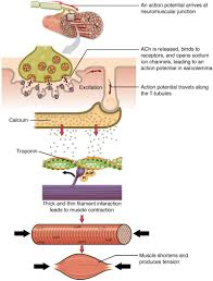 Muscle Fiber Contraction And Relaxation Anatomy And Physiology