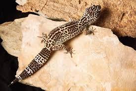 Leopard Gecko Size Chart Leopard Gecko Care Sheet