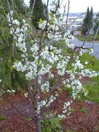 Paghatu0027s Garden Prunus Domesticus U0027Pershore Yellow Eggu0027Plum Tree Not Producing Fruit