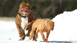 pitbull dog attack.  Pitbull Pit Bulls Attacking With Pitbull Dog Attack A