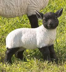 standing lamb suffolk sheep resin