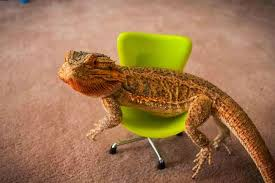 Image result for cute bearded dragon pics