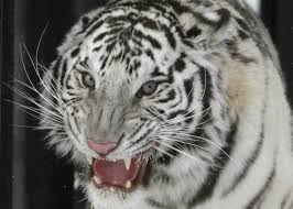 white tiger growling. Contemporary White Dzhen A Oneandahalf Year Old Bengali White Female Tiger Growls As She  Walks Inside Her CageRepresentative Image Reuters File And White Tiger Growling