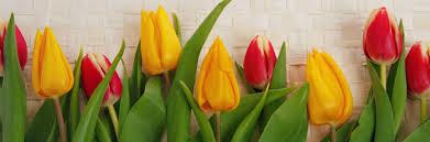 spring tulip desktop wallpaper. Plain Desktop In Spring Tulip Desktop Wallpaper N