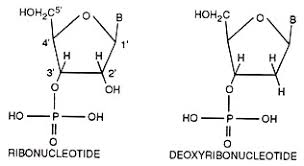 Relation Among Nucleic Acids Nucleotides And Nucleosides