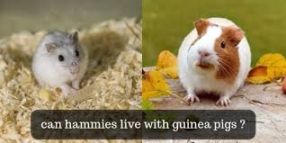 hamsters living with guinea pigs what
