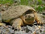 Images & Illustrations of common snapping turtle