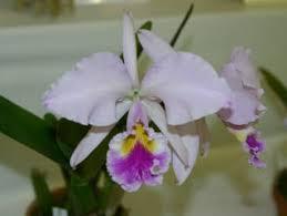 世界のらん展 ワールド・オーキッド・フェア2004 カトレヤ原種 World Orchid Fair 2004 Cattleya Species