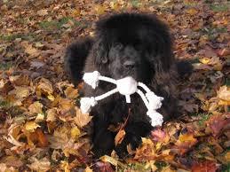 boatswain dog. newfoundland dog image: caramor\u0027s boatswain ,