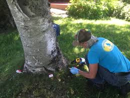 here an arborist from whitney tree service uses mauget injections to treat a birch tree for birch leaf miner and bronze birch borer