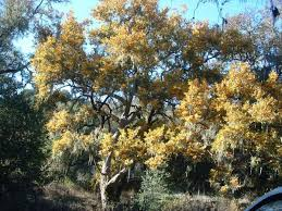 Image result for images of native sycamores