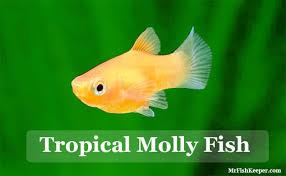 Molly Fish Care Types Feeding Tank Setup Tank Mates Breeding
