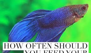 Betta Fish Feeding Instructions The Best Betta Fish Food
