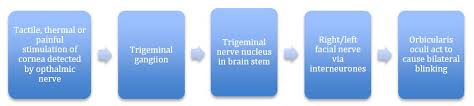 Branches Of Trigeminal Nerve Flow Chart The Trigeminal Nerve Cn V Course Divisions
