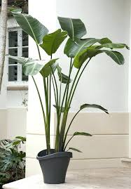 tall low light houseplants indoor house plants new for the most best large uk tal