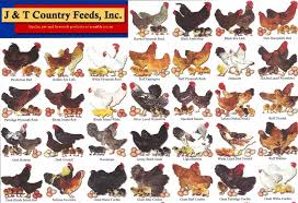 Different Types Of Chickens Chart Chickens Chart Of Breeds Survivalexicon