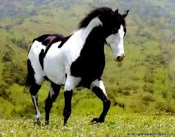 horses wallpaper black and white.  Wallpaper Black And White Paint Horse Wallpaper  Amazing Wallpapers With Horses