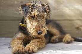Resultado de imagen para welsh terrier mercado libre