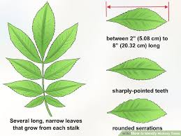 How To Identify Hickory Trees 13 Steps With Pictures