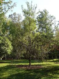 Pruning mature pear trees
