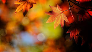 fall nature backgrounds. Leaves - Macro Depth Field Maple Bokeh Fall Nature View Background For HD 16: Backgrounds E