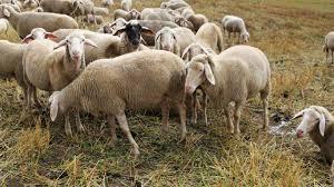 نتیجه تصویری برای گوسفند