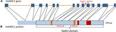 The dmc1 Mutant Allows an Insight Into the DNA Double ... - Frontiers