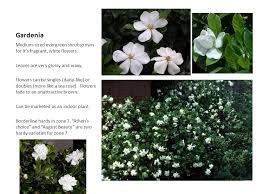 gardenia um sized evergreen shrub grown for it u0027s fragrant white flowers leaves are 960 720