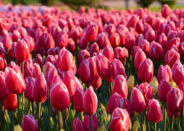 Tulips How To Plant Grow And Care For Tulip Flowers The
