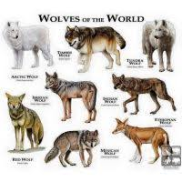 Dire Wolf Size Chart Wolf Vs Dog Size Chart Grey Wolf Size Compared To Human